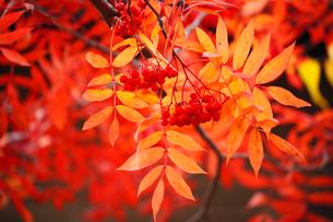 ナナカマドの紅葉と実の写真素材 [FYI01794219]