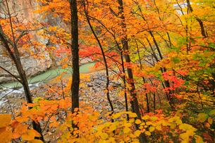 定山渓の紅葉の写真素材 [FYI01794253]