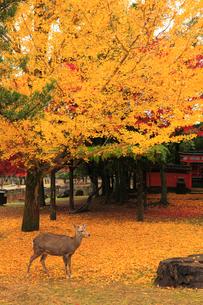 鹿とイチョウの散り紅葉の写真素材 [FYI01794268]