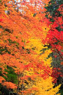 高野山の紅葉の写真素材 [FYI01794282]