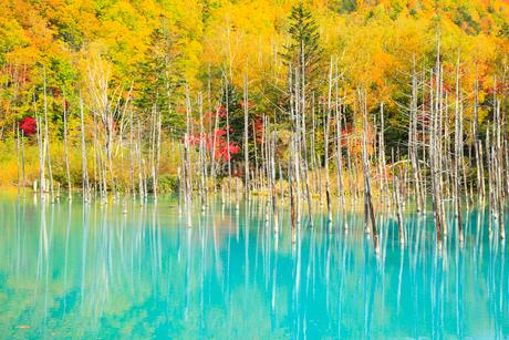 青い池と紅葉の写真素材 [FYI01794307]