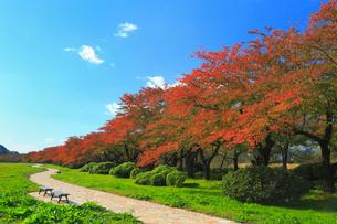 北上展勝地 サクラ並木の紅葉の写真素材 [FYI01794337]