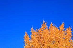 イチョウの紅葉と青空の写真素材 [FYI01794374]