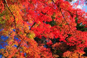 高野山の紅葉 の写真素材 [FYI01794401]