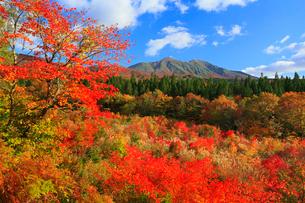 秋田駒ケ岳と紅葉の写真素材 [FYI01794439]