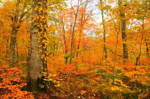 白神山地・岳岱自然観察教育林 ブナ林の黄葉の写真素材 [FYI01794463]