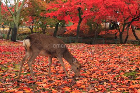 鹿と紅葉の写真素材 [FYI01794533]