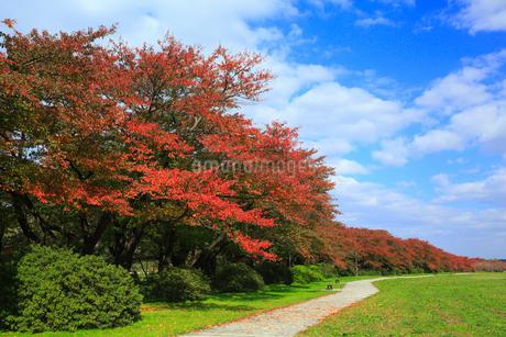 北上展勝地 サクラ並木の紅葉の写真素材 [FYI01794550]