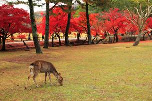 鹿と紅葉の写真素材 [FYI01794560]
