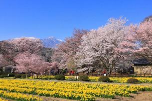 スイセンとサクラ咲く実相寺の写真素材 [FYI01794610]