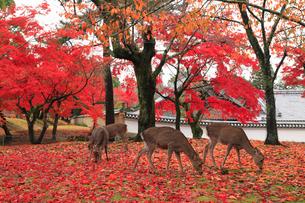 鹿と紅葉の写真素材 [FYI01794678]