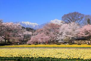 スイセンとサクラ咲く実相寺の写真素材 [FYI01794718]