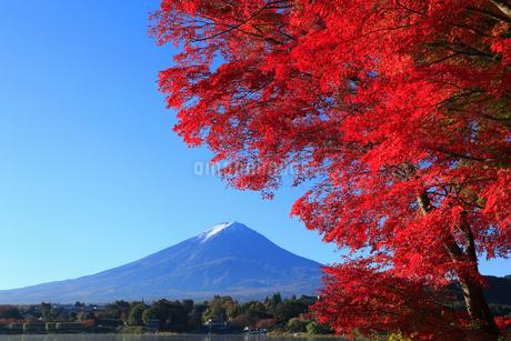 富士山とカエデの紅葉の写真素材 [FYI01794722]