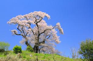 塩ノ崎の大桜の写真素材 [FYI01794777]