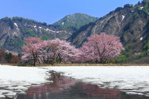 小国 残雪とサクラの写真素材 [FYI01794788]