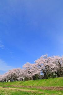 角館 桧木内川堤のサクラの写真素材 [FYI01794820]