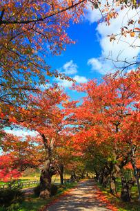 北上展勝地 サクラ並木の紅葉の写真素材 [FYI01794855]