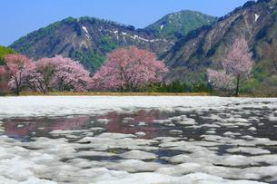 小国 残雪とサクラの写真素材 [FYI01794861]