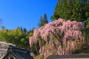 福衆寺のシダレザクラの写真素材 [FYI01794874]