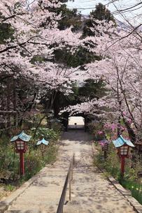 柏尾山大善寺の参道と灯篭にサクラの写真素材 [FYI01794891]