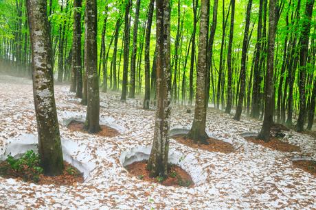美人林 残雪と新緑のブナ林に霧の写真素材 [FYI01794906]