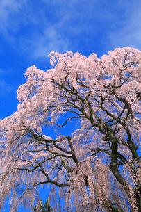 芹ヶ沢桜の写真素材 [FYI01794918]