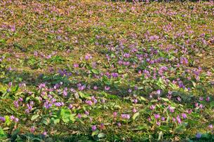 カタクリの花の群生地の写真素材 [FYI01794920]