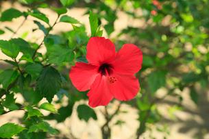 奄美大島 大浜海浜公園のハイビスカスの写真素材 [FYI01794922]