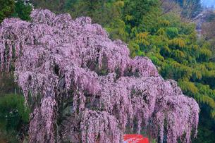 福衆寺のシダレザクラの写真素材 [FYI01794927]