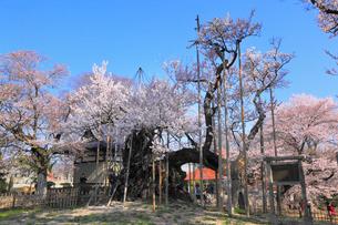 実相寺の山高神代桜の写真素材 [FYI01794994]