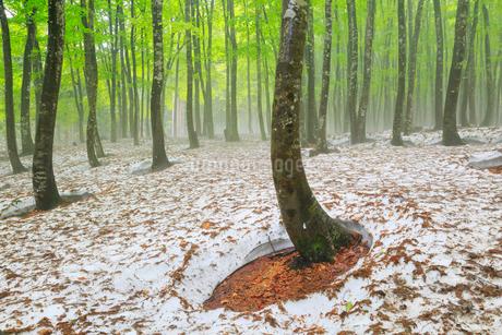 美人林 残雪と新緑のブナ林に霧の写真素材 [FYI01795025]