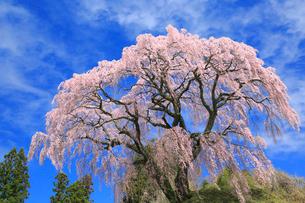芹ヶ沢桜の写真素材 [FYI01795027]
