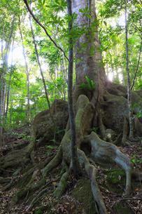奄美大島 金作原原生林のオキナワウラジロガシの写真素材 [FYI01795045]