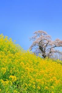 塩ノ崎の大桜とナノハナ畑の写真素材 [FYI01795078]
