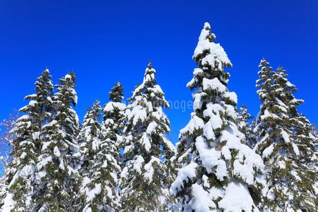 千石園地の雪の回廊から望む雪景色の樹林の写真素材 [FYI01795089]