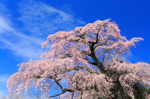 貝山薬師桜の写真素材 [FYI01795090]