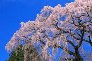 芹ヶ沢桜の写真素材 [FYI01795091]