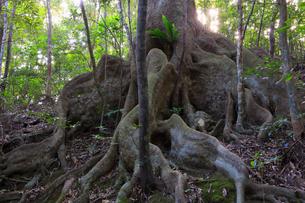 奄美大島 金作原原生林のオキナワウラジロガシの写真素材 [FYI01795146]