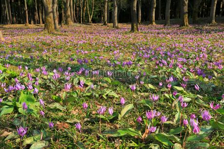 カタクリの花の群生地の写真素材 [FYI01795167]