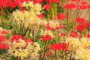 矢勝川の彼岸花の写真素材 [FYI01795178]