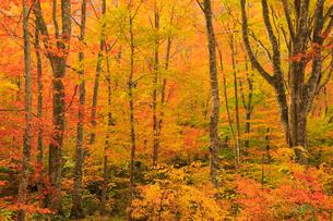 白神山地・岳岱自然観察教育林 ブナ林の黄葉の写真素材 [FYI01795207]