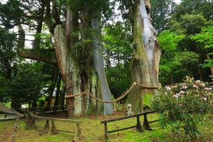 八坂神社 杉の大スギの写真素材 [FYI01795456]