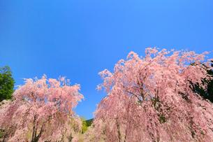 シダレザクラ咲く高見の郷の写真素材 [FYI01795530]