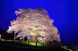 醍醐桜のライトアップ夜景の写真素材 [FYI01795645]