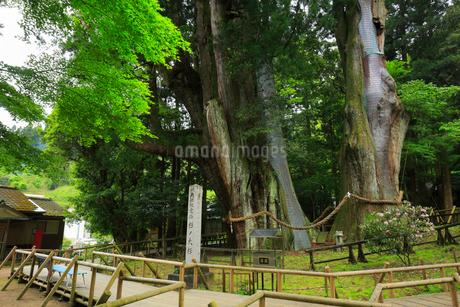 八坂神社 杉の大スギの写真素材 [FYI01795660]