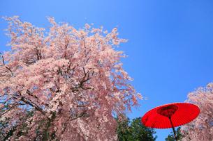 シダレザクラ咲く高見の郷の写真素材 [FYI01795698]
