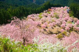 シダレザクラ咲く高見の郷 の写真素材 [FYI01795705]