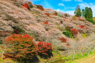 小原四季桜と紅葉の写真素材 [FYI01795706]