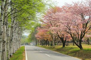 八幡平 サクラとシラカバ並木に道の写真素材 [FYI01795712]