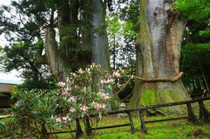 八坂神社 杉の大スギの写真素材 [FYI01795759]